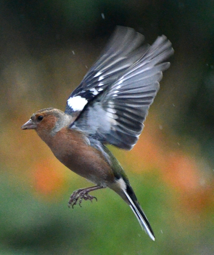 chaffinch with wings back