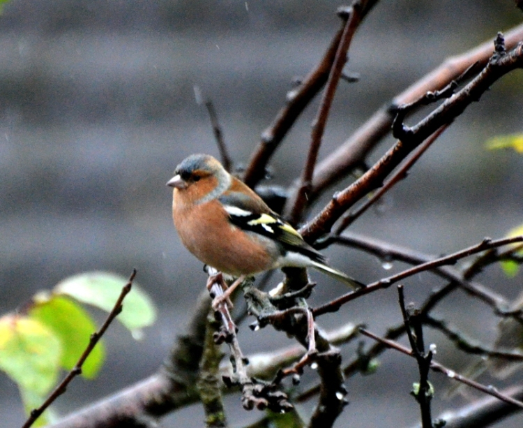 Chaffinch in plum tree