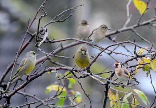 greenfinch gathering