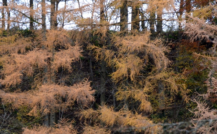 Old larches