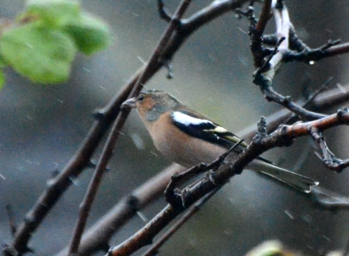 A chaffinch facing the elements