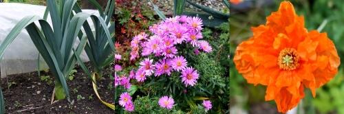 Leek daisy poppy