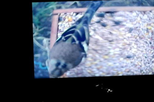 chaffinch on TV