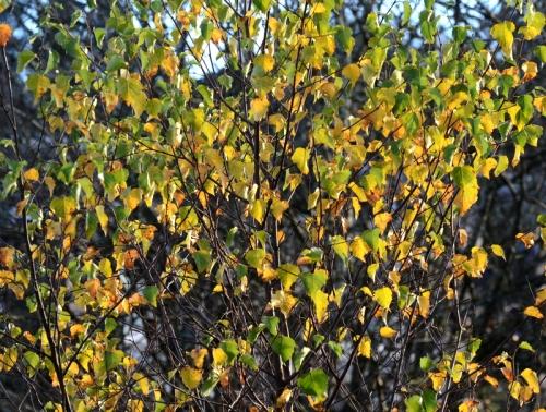 Liz's shrub