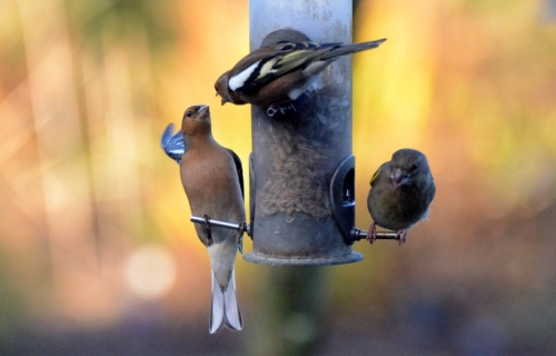 chaffinches shouting