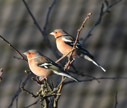 two chaffinches in plum tree