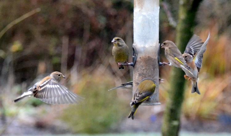 greenfinch and bramblings