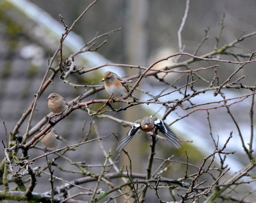 brambling and chaffinches