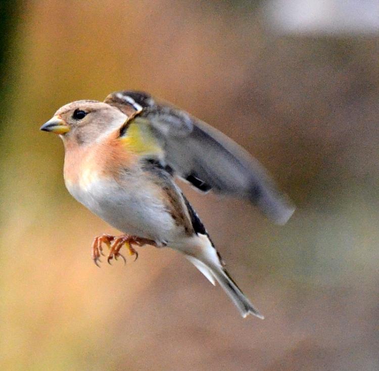 Flying Brambling