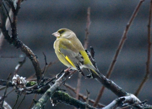 greenfinch in tree