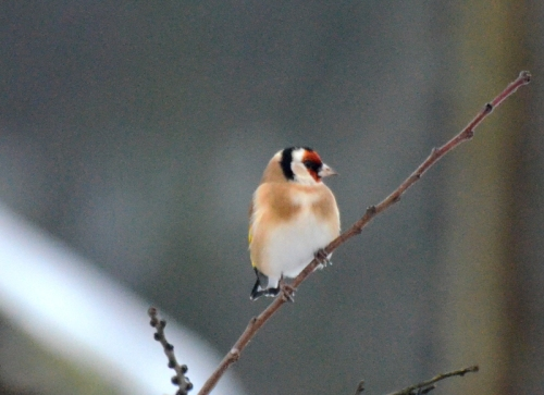 goldfinch in tree