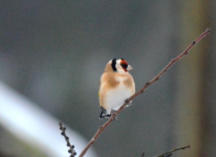 goldfinch in tree