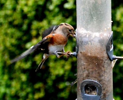 brambling hanging on