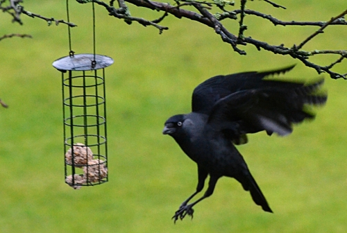 mad eyed jackdaw