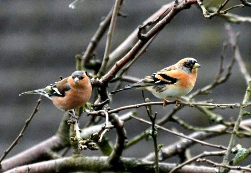chaffinch and brambling