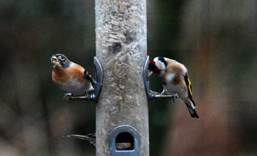 brambling and goldfinch