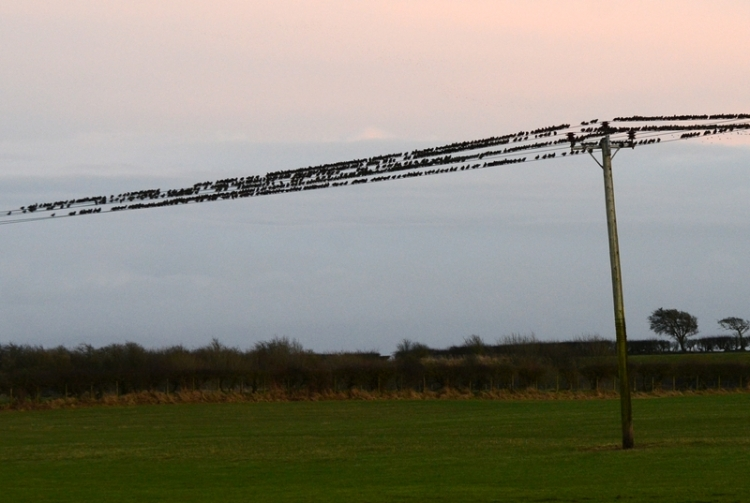 starling wires