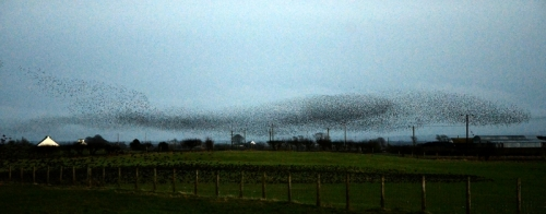 browhouses starlings