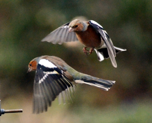 stacked chaffinches