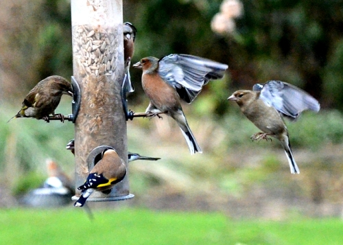 chaffinch queue