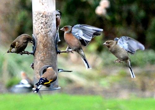 chaffinch queue