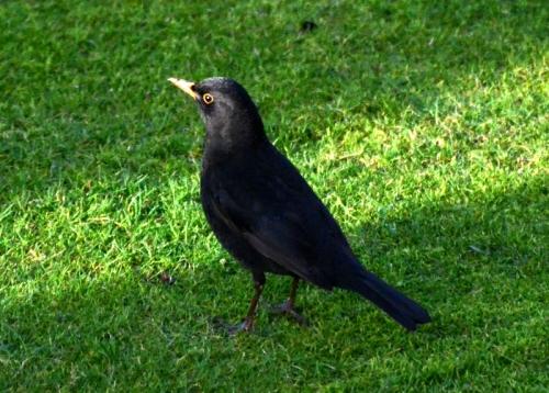 A male blackbird catches a narrow ray of sunshine