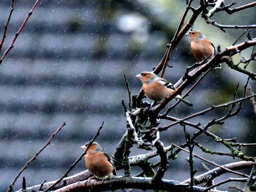 chaffinches in the rain