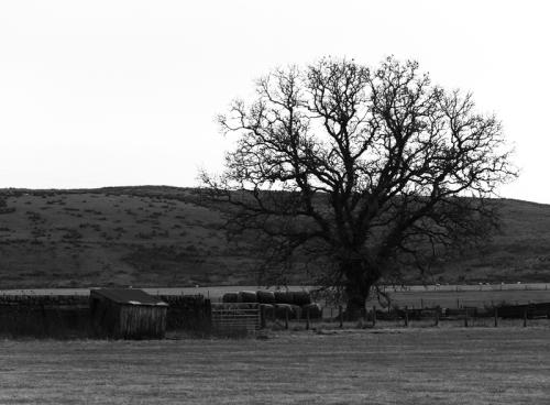 Bigholms tree b/w