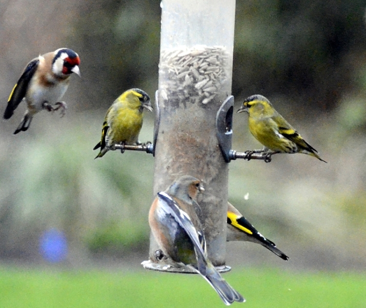 goldfinch and siskins