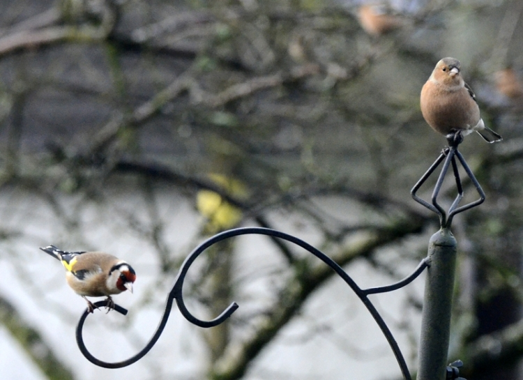A goldfinch peers nervously down while a chaffinch seems above it all