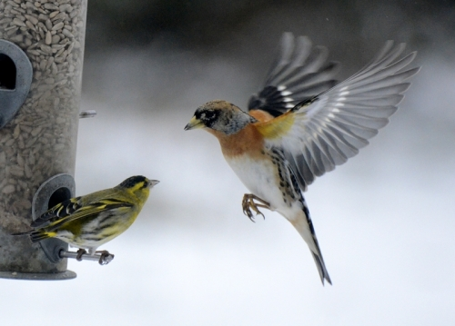 brambling and siskin