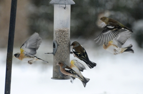 chaffinches and bramblings
