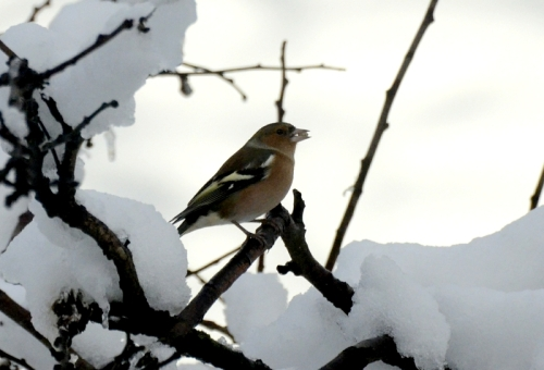 Chaffinch with seed in snow