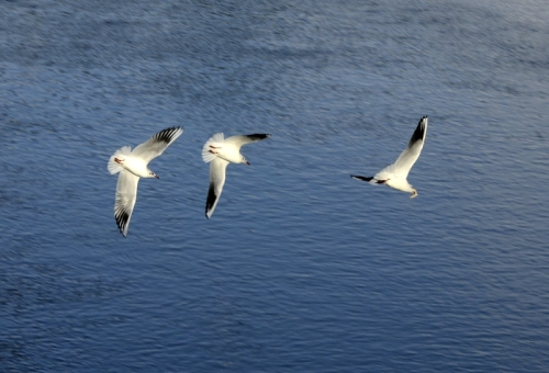 gull pursuit