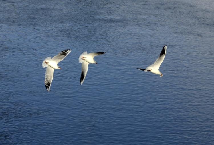gull pursuit