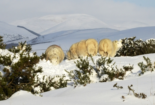 sheep on Whita