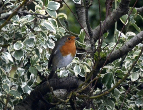 The robin lurks on the branch before making quick dashes to take a single seed from the feeder.
