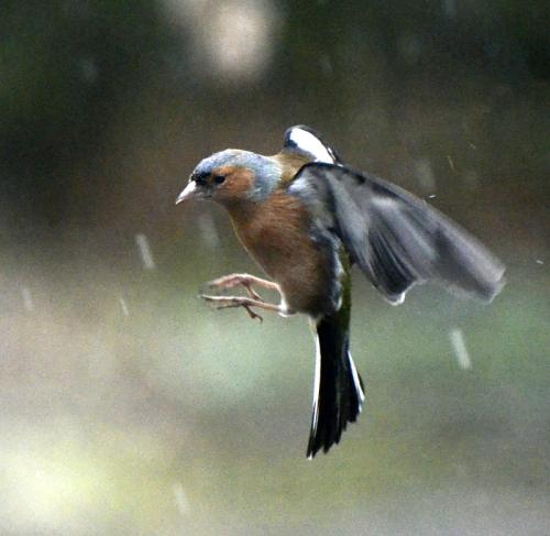 chaffinch in rain
