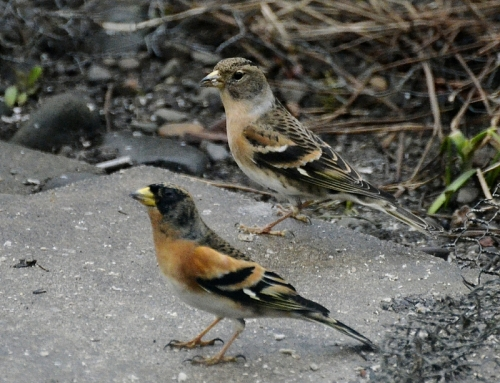 two bramblings