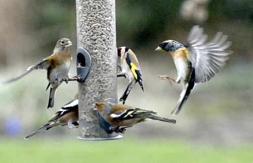 brambling at feeder