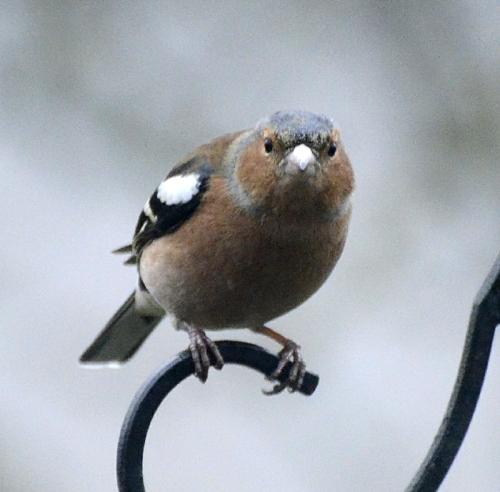 staring chaffinch