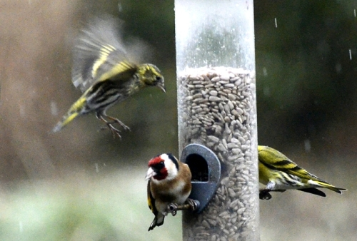 siskin goldfinch