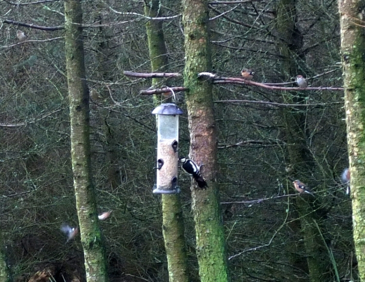 woodpecker at the seed