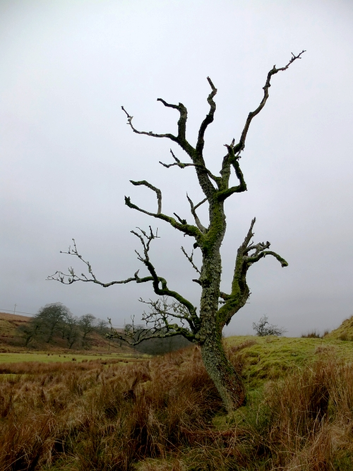 Tree at Cleuchfoot