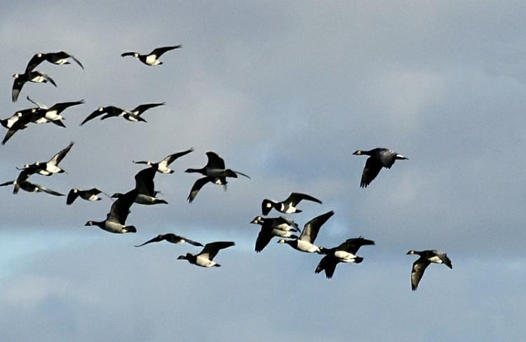 flying geese