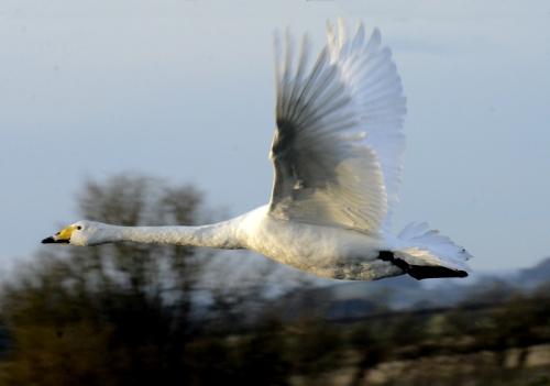 flying swan solo