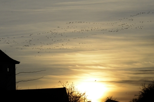 geese coming in
