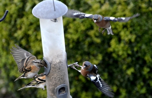 haffinches and bramblings