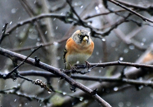A brambling waits patiently in the plum tree