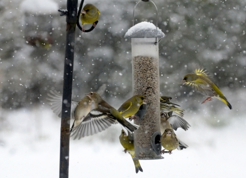 greenfinches in command